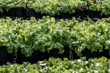 Organic green Lettuce growing in farm for agriculture concept, Cultivation hydroponic vegetable in farm plant market. Vegetable background, Selective focus.