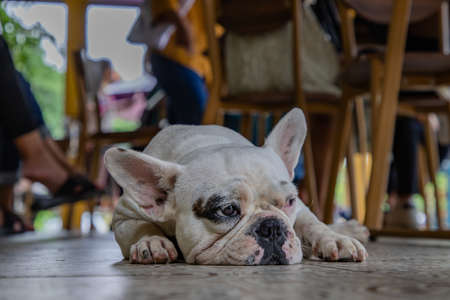 Close-up view of Puppy french bulldog sit and rest after walk. Selective focus.