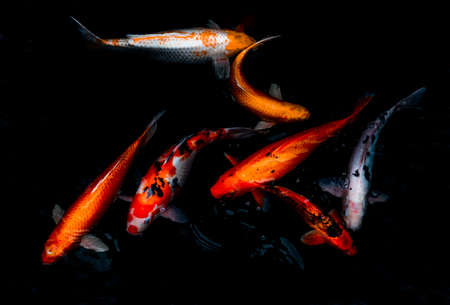 Detail of colorful Koi Fishs or Koi Carp swimming inside the fish pond at sunny day, Japanese fish species, Many colorful patterns, Focus and blur.