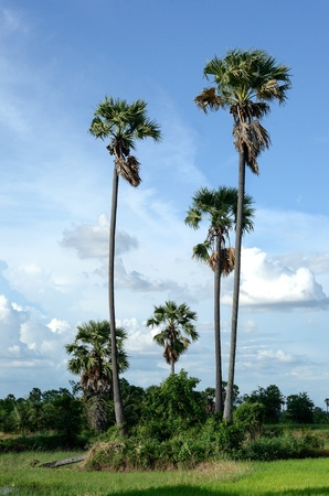 toddy palm: toddy palm and blue sky