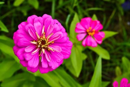 flores fucsia: Flores fucsia