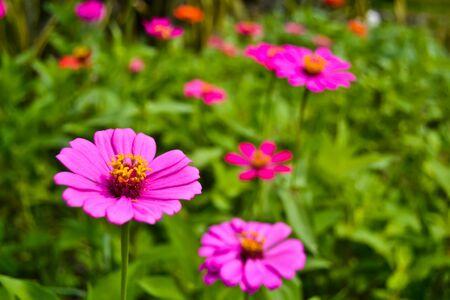 flores fucsia: Flores color fucsia Foto de archivo