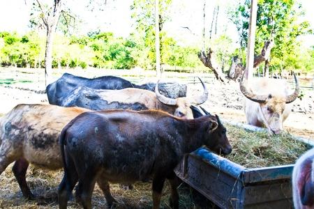 Thai buffaloes photo