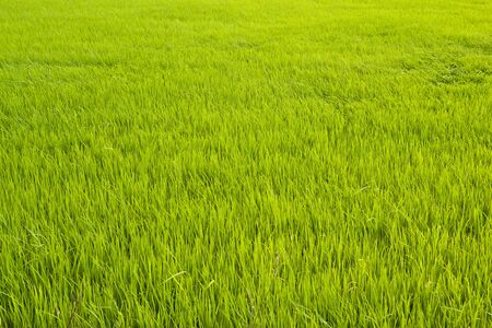 Green rice fields in thailand photo