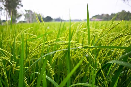 Rice plants in paddy field photo