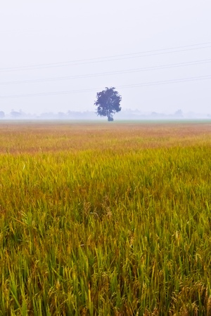 Paddy Field in Country of thailand photo