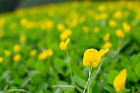 Small yellow flower  Pinto Peanut plant