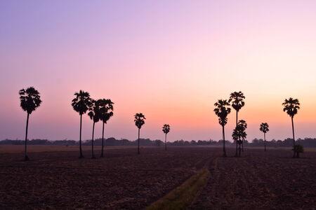 Sugar palm at sunset