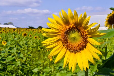 Sunflower of thailand Stock Photo