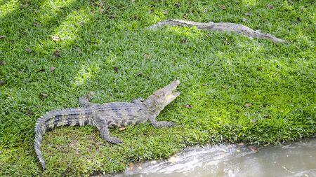 thai crocodile