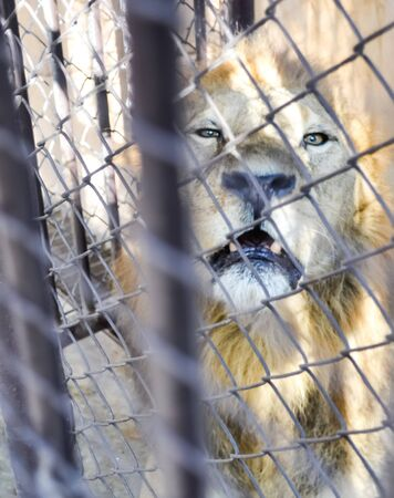 Lion in the cage Stock Photo
