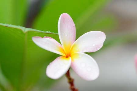 tahitian: Pink plumeria on the plumeria tree, dept of focus