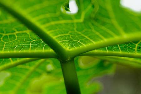 sylvan: Stalks papaya with a focus on Specific Focus Stock Photo
