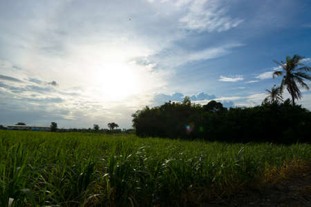 fibrous: Sugarcane field at sunset