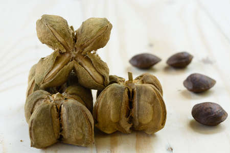 volubilis: Plukenetia volubilis, commonly known as sacha inchi or Inca peanut. Selective focus Stock Photo