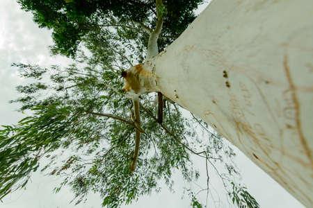 very: Very large eucalyptus