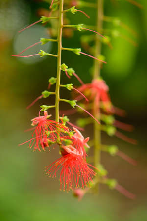 Kradon red flowers, The medicinal properties of plants Stock Photo