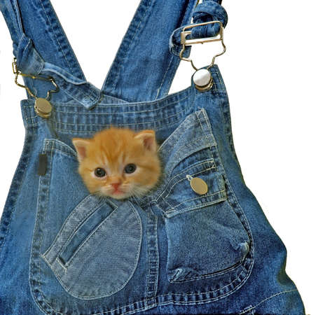 young kitten staring from a pocket Standard-Bild