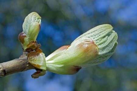 gemma venire prima di castagno in fiore