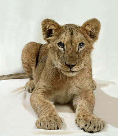 lion cub laying in white