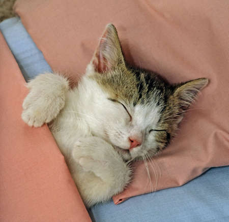 cat sleeping: cat sleeping in pink bed Stock Photo