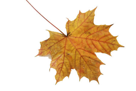 autumn leaf isolated on white Stock Photo - 7549023