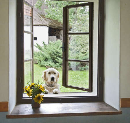 large windows: gold labrador looking through a window Stock Photo