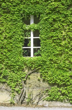 wall owergrown by vine leafs Standard-Bild
