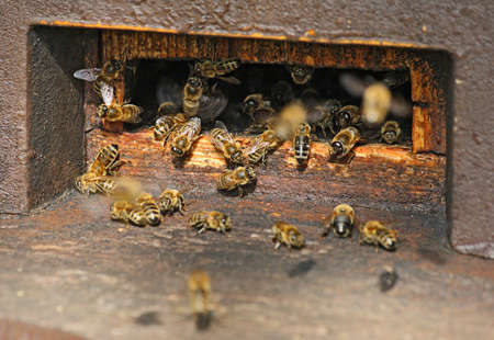 assiduous: the bees at a beehive Stock Photo