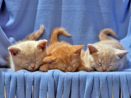 three sleeping cats on a blue blanket photo
