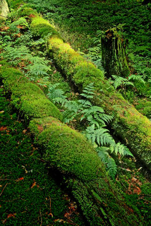 brake fern: fallen trunk owergrown with moss and fern Stock Photo