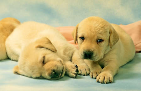 two retriever puppies on blue beckround