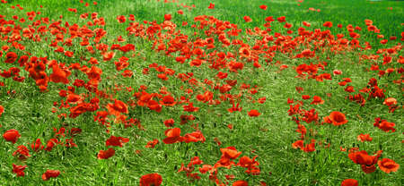 poppy flowers field photo