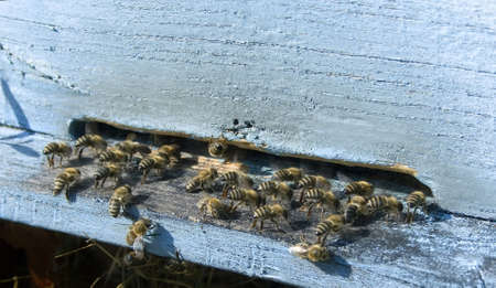 industrious: industrious bees in front of a  beehive