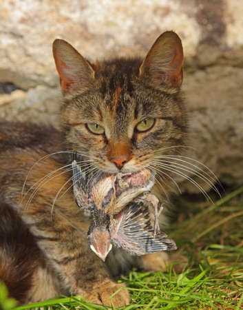 portrait of a cat with an young swallow in a mouth