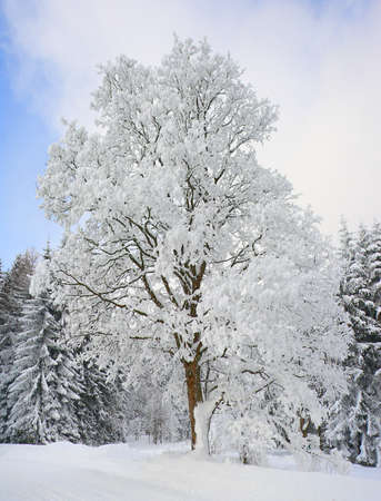 a snow-covered tree Standard-Bild
