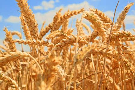 wheat spikes against blue sky