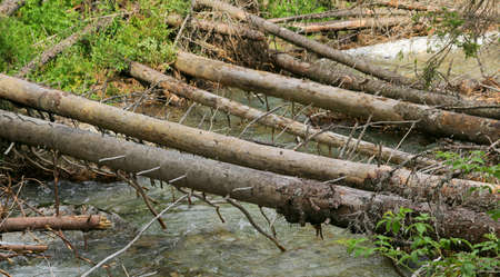 dry spruce trunks, uprooted by natural disaster fallen over brook Standard-Bild