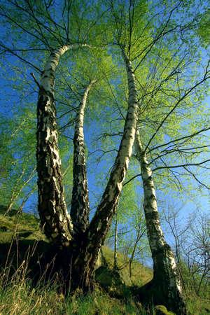 birch trees over  blue sky
