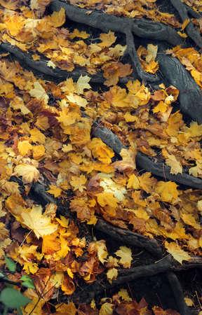 Gefallenen Blätter im Herbst unter Baumwurzeln Standard-Bild - 53281412