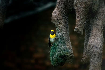 Vintage wallpaper of baya weaver with it's nest.
