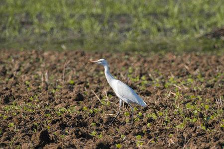Cattle egret bird walking alone on the field.