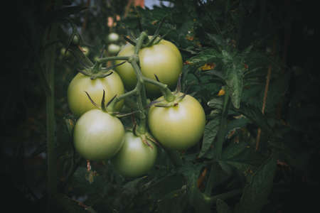 tomato plantation in the field closeup shot Reklamní fotografie