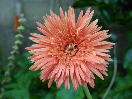 barberton daisy: Gerbera Flower Stock Photo