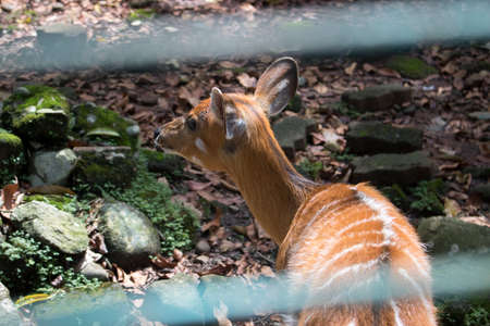 masticate: Sambar Deer Cervus unicolour in Zoo Cage Stock Photo