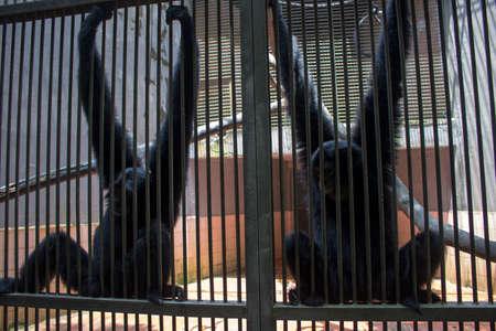 endangered species: sad funny monkey inside cage endangered species Stock Photo