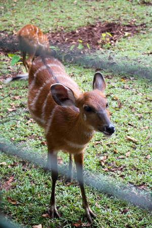vigna: Sambar Deer Cervus unicolour in Zoo Cage Stock Photo