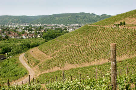 saar: Vineyard near the oldest german city Trier. Since around 2.000 years here vine grows in old roman tradition. Stock Photo
