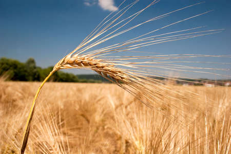 Ripe barley head in front of a field Stock Photo - 7367077