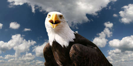 Bald eagle in front of clouds photo